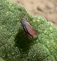 (Arizona ) Hopper - Flickr - gailhampshire (1).jpg