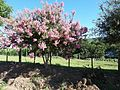 Árvore florida na Rua Vitório Toniasso - panoramio.jpg