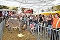 Ânesse et ânon au marché de Digne.jpg