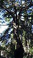 Алина под кедром - panoramio.jpg
