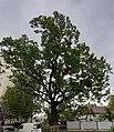 """Ботанічна памятка природи місцевого значення """"Тернопільський дуб"""" (вигляд 2).jpg"""