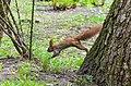 Білка звичайна у парку імені Чекмана.jpg