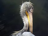 Голова кудрявого пеликана после рыбной ловли.jpg