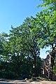 Дуб Фролкіна DSC 0144.jpg