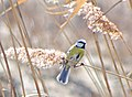 Обыкновенная лазоревка - Cyanistes caeruleus - Eurasian blue tit - Син синигер - Blaumeise (33096827365).jpg