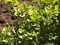 Растения в Седово 212.JPG