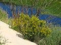 Растительность песчаных кучугуров Лысого острова.jpg