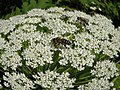Сирецький дендропарк.Флора та бджоли 02.jpg