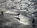 Чайка у Онежского озера.jpg