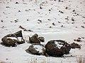 بارش برف در روستای جاسب قم- قله ولیجیا 07.jpg