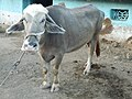 मेळघाटातील म्हैस Water Buffalo from Melghat region.jpg