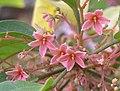 假蘋婆(七姐果) Sterculia lanceolata -香港太和 Tai Wo, Hong Kong- (9207601942).jpg