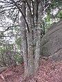 四树同根 - panoramio.jpg
