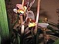報歲醬皇荷 Cymbidium sinense -香港沙田洋蘭展 Shatin Orchid Show, Hong Kong- (12267228104).jpg
