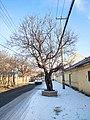 孙家集村的百年古槐树 2020-12-19.jpg