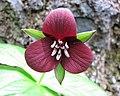 延齡草屬 Trillium cuneatum -日本大阪鮮花競放館 Osaka Sakuya Konohana Kan, Japan- (27355333947).jpg
