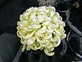 日本厚物菊-國華金國寶 Chrysanthemum morifolium Japanese-spoon-series -台北花博 Taipei Flora Expo- (9216081746).jpg