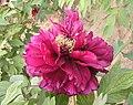 牡丹-傲陽 Paeonia suffruticosa 'Sun Challenger' -菏澤曹州牡丹園 Heze, China- (12428275234).jpg