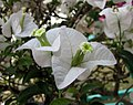白花光葉子花 Bougainvillea glabra 'Alba' -深圳蓮花山公園 Shenzhen Lianhuashan Park, China- (11203944974).jpg