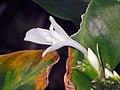 箭羽竹芋 Calathea insignis -香港嘉道理農場 Kadoorie Farm, Hong Kong- (9240150140).jpg