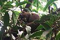 紅腹松鼠 Callosciurus erythraeus - panoramio.jpg