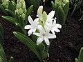 風信子 Hyacinthus orientalis White Pearl -香港花展 Hong Kong Flower Show- (9240279754).jpg