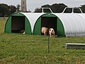 -2018-10-03 Free range pigs, Southrepps (1).JPG