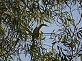 ... Indian Gray Hornbill (♂) (5288571598).jpg