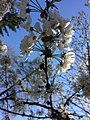 03-Wildkirschblüten.jpg