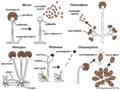 06 05 sporangiophores, sporangia, conidia, liberation of spores, Mucorales, Zygomycota (M. Piepenbring).png