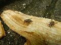 1400Common houseflies eating Bananas 06.jpg