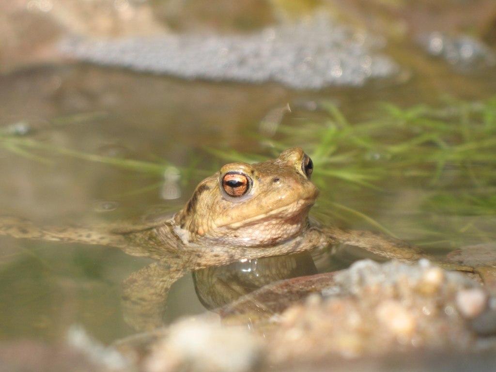 2007-03-31,11, Erdkröte