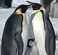 2007 Snow-Hill-Island Luyten-De-Hauwere-Emperor-Penguin-65.jpg