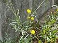 20120628Diplotaxis tenuifolia8.jpg
