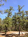 2013-05-10 10 29 56 Two stunted pitch pines along the Mount Misery Trail in Brendan T. Byrne State Forest.jpg