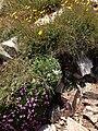 2013-07-14 12 01 20 Alpine flowers along the Wheeler Peak Summit Trail in Great Basin National Park.jpg
