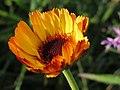 20141003Calendula officinalis4.jpg