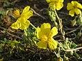 20141017Helianthemum nummularium5.jpg