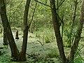 2015.05.14.-15-Lampertheim-Sued beim Hollaendergraben--Sumpfwald.jpg