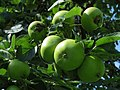 2017-07-28 (023) Apple tree near old Bichl in Haltgraben.jpg