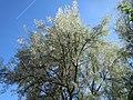 20170608Elaeagnus angustifolia1.jpg
