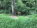 2018-07-06 14 34 28 Two White-Tailed Deer bucks in a wooded area along a walking path in the Armfield Farm section of Chantilly, Fairfax County, Virginia.jpg