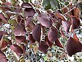 2019-11-15 13 56 49 Viburnum leaves in late autumn along a walking path in the Franklin Farm section of Oak Hill, Fairfax County, Virginia.jpg
