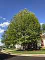 2020-05-07 17 35 26 A Pin Oak leafing out in spring along Scotsmore Way in the Chantilly Highlands section of Oak Hill, Fairfax County, Virginia.jpg