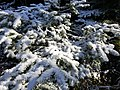 2020-10-17 14 36 25 Balsam Fir boughs covered in a light coating of snow along the Lookout Rock Trail on Equinox Mountain in Manchester, Bennington County, Vermont.jpg