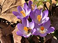 2021-03-03 14 57 03 A honey bee pollinating Crocus tommasinianus flowers along Tranquility Court in the Franklin Farm section of Oak Hill, Fairfax County, Virginia.jpg