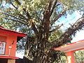 A Banyan Tree in a Temple..JPG