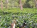 A Tea Garden of Assam.jpg