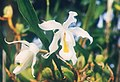 A and B Larsen orchids - Coelogyne cristata 563-6.jpg
