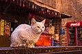 A feral cat in Petra, Jordan, May, 2015.jpg